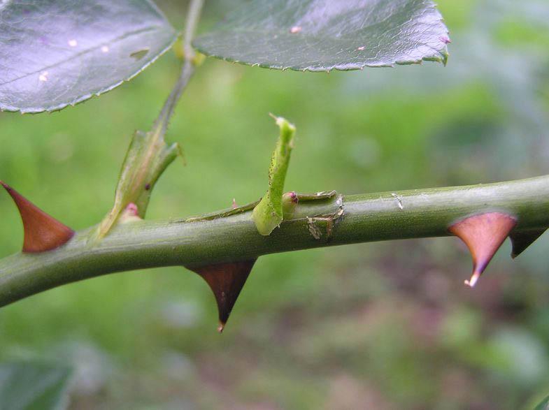 Размножение роз, окулировка