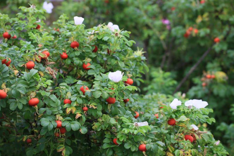 Для живой изгороди высаживаются растения на расстоянии 0,5 м друг от друга