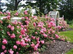 Розарий на садовом участке