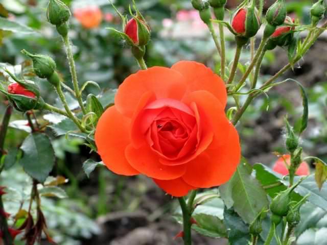 Выращивание роз на собственном участке - непростая задача
