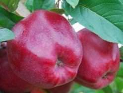 Характеристика яблони Рихард