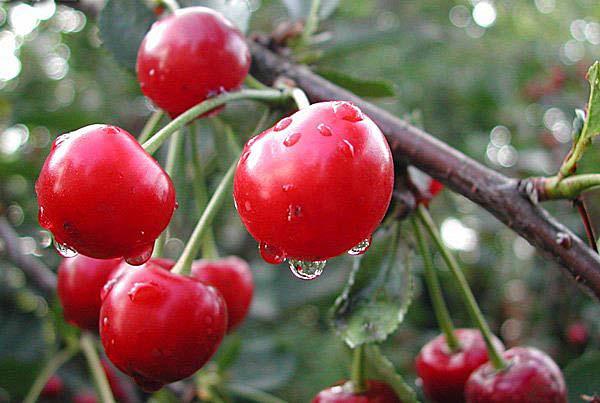 Сортовое многообразие и особенности выращивания вишни