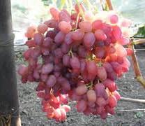 Виноград Марсело (отзывы)
