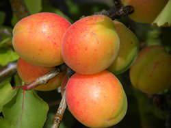 Болезни и вредители абрикосов (10 фото)