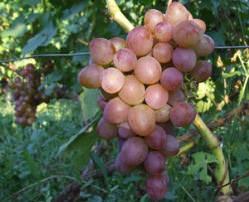 Виноград Блестящий: описание сорта, фото, отзывы