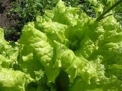 Как правильно посадить салат семенами в открытый грунт