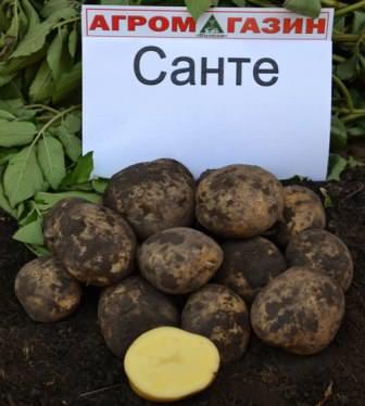 Картофель сорта санте