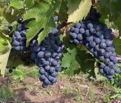 Описание винограда Кубань