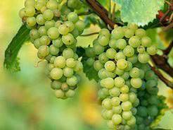 Названия сортов зимостойкого неукрывного винограда