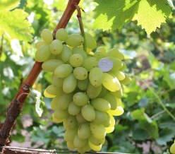 Виноград Столетие