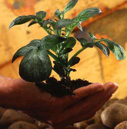 Сорта картофеля для Сибири с фото и описаниями