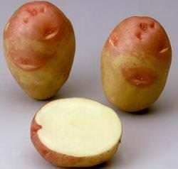 Картофель Красная шапочка: описание сорта и фото