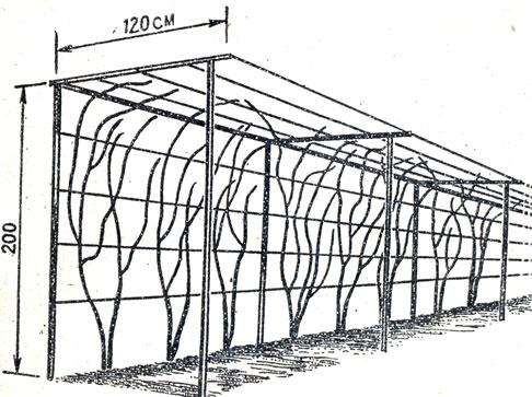 Полуарка применяются для выращивания различных по срокам формирования урожая сортов винограда