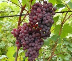 Виноград Русский ранний: описание сорта, фото, отзывы