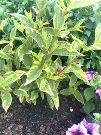 Весной посадила три вида гортензии , вейгелу и чубушник, которые хорошо принялись и даже порадовали цветением. А пока кустики еще небольшие нашлось место для однолетников