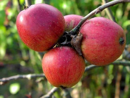 """Яблоки сорта """"Орлик"""""""