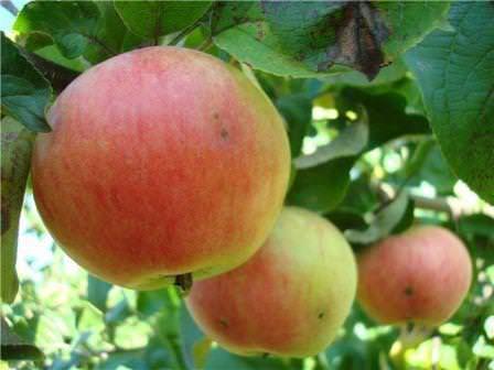 """Яблоки сорта """"Грушовка"""""""