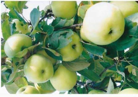 """Яблоки сорта """"Антоновка"""""""