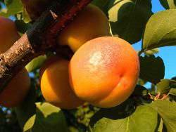 Лучшие сорта абрикоса