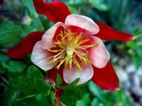 Цветок Водосборник (10 фото)