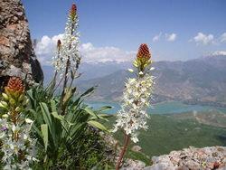Цветы эремуруса