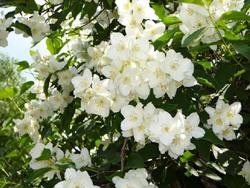 Это неприхотливое и привлекательное растение садоводы используют как живую изгородь