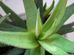 Выращивание хавортии на окне, в домашних условиях, дает отличный результат