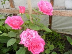 Выращивание роз в теплице: традиционные и современные методы