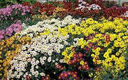 Не цветущие растения для клумб