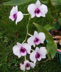 Орхидея - цветок, всегда вызывающий восторг