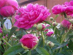 Как вырастить пионы в саду