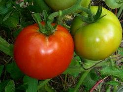 Способы выращивания помидоров в теплицах и в домашних условиях