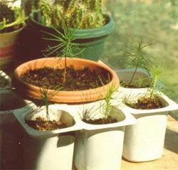 рассада бонсай, выращивание
