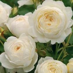 Розы выбор сорта и покупка саженцев