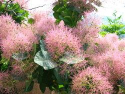 скумпия - выращивание, уход, размножение