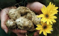 Агротехника выращивания топинамбура