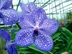 Орхидея Ванда является самой прекрасной из представительниц своего вида