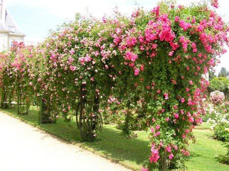 Плетистые розы выбор сорта посадка