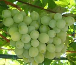Виноград Талисман: описание сорта, фото, отзывы