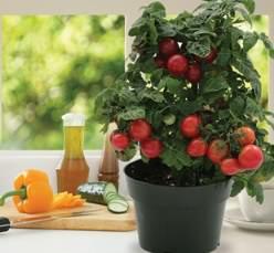 Технология выращивания помидор на подоконнике