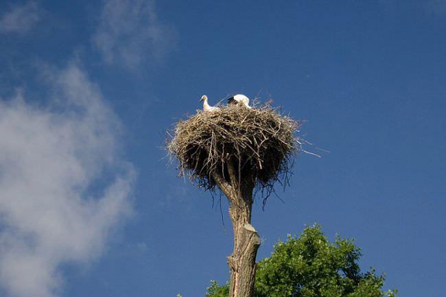 Гнездовья на деревьях размещают на срезанных сухих верхушках или в основании толстой боковой ветви