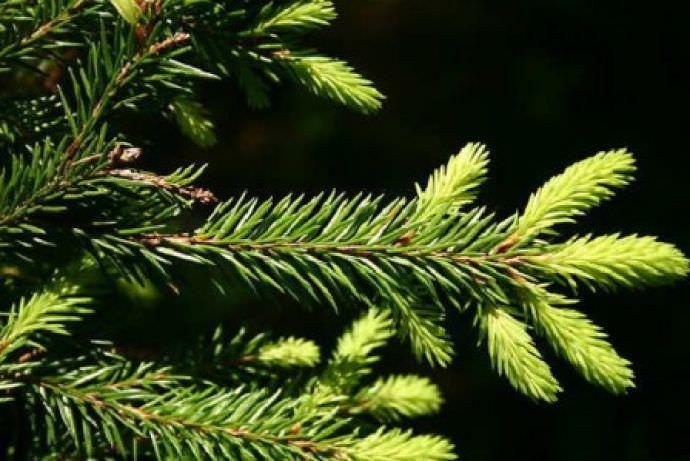 Корректный уход за елями даст возможность вырастить красивые деревья
