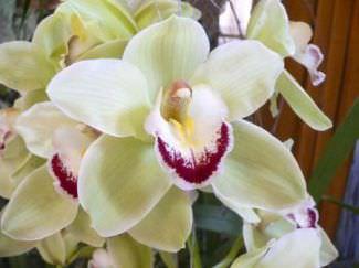 Орхидея белая фото