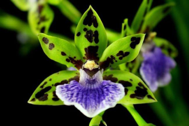 Цвет орхидея