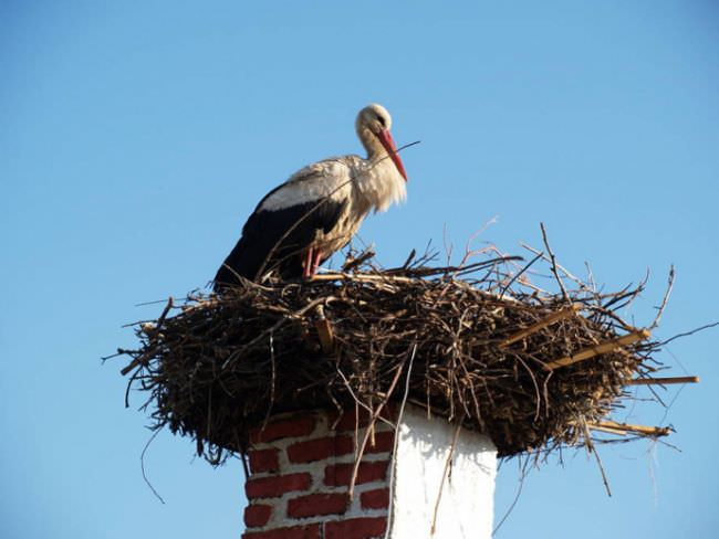 Вероятность заселения увеличится, если поблизости уже есть гнезда аиста