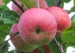 Яблони сорта Слава победителям