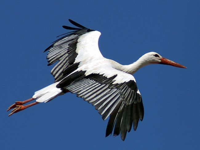 Белый аист является наиболее известным представителем семейства аистовых