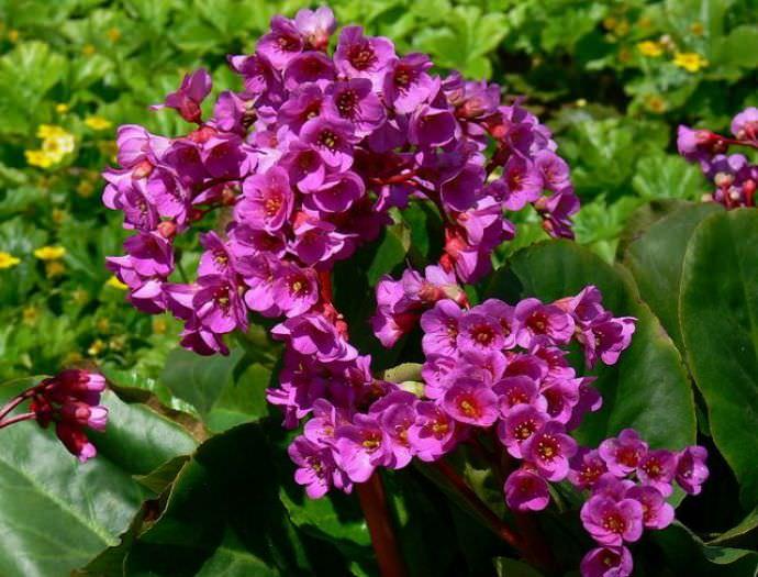 Бадан фото квітів