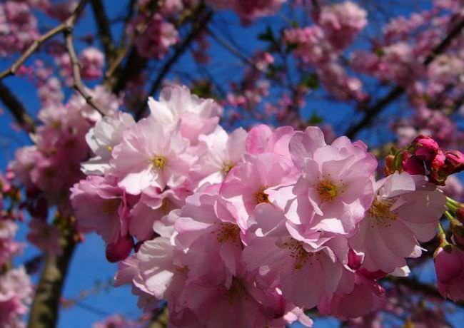 Сакура у всех ассоциируется с Японией. Когда на дереве появляются цветки, оно становится похожим на большое бело-розовое облако