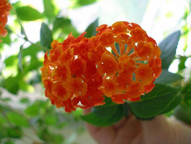Лантана – растение, обитающее в тропических широтах Африки и Америки